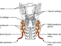 Thyroid Conditions as Source of Dental Problems
